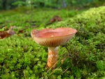 Dappled Webcap (Cortinarius bolaris)